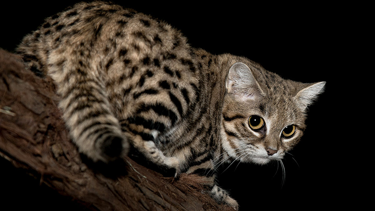 d764b9eaedfc Βlack Footed Cat - Το πιο «θανατηφόρο» αιλουροειδές στον πλανήτη ...