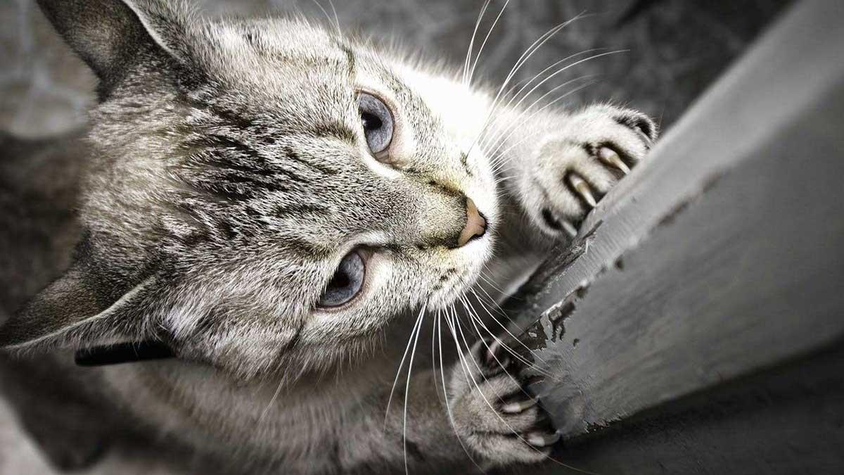 a0961d16c445 Γιατί η γάτα ξύνει με τα νύχια της τα έπιπλα  - Living With Cats